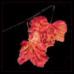 Autumn_Leaves - Jennifer Gordon
