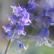 BLUE BELLS - Jennifer Gordon