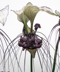 Bat_Flower - Jennifer Gordon