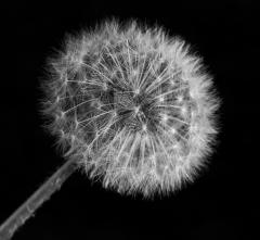 Dandelion - Guy Machan