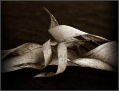 Dried leaf - Jan Glover
