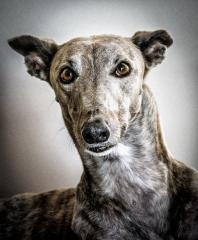 Greyhound_Rescue_1 - Steve Mullarkey