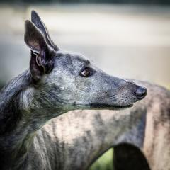Greyhound_Rescue_2 - Steve Mullarkey