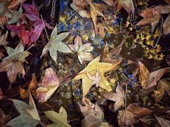 Leaves in a puddle - Jan Glover