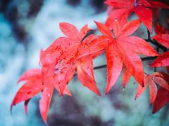 Maple leaves - Hemant Kogekar