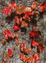 The last Autumn leaves - Judy Watman
